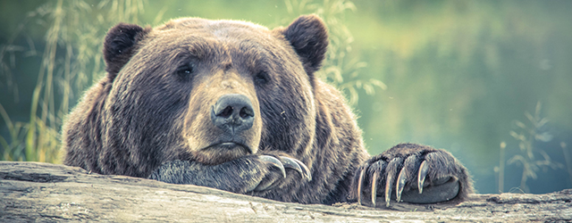 Photo of a bear resting on a log.